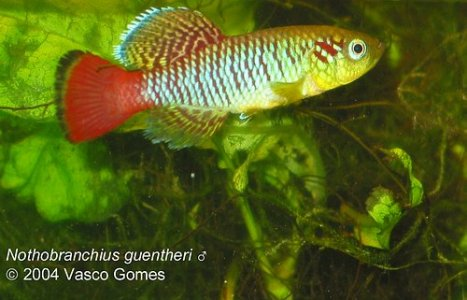 Nothobranchius guentheri